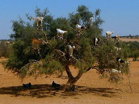 Goats up a tree by Exploramum Exploramum