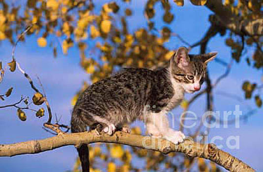 Going out on a lImb, Kitten by Sandy Carey