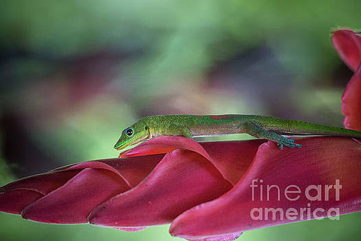 Gold Dust Day Gecko 1 by Daniel Knighton