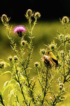 Gold Finch and Thistle by Joe Ladendorf