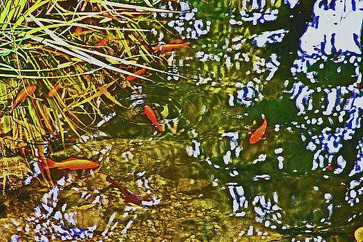 Gold Fish in a Pond 2 10232017 Colorado by David Frederick