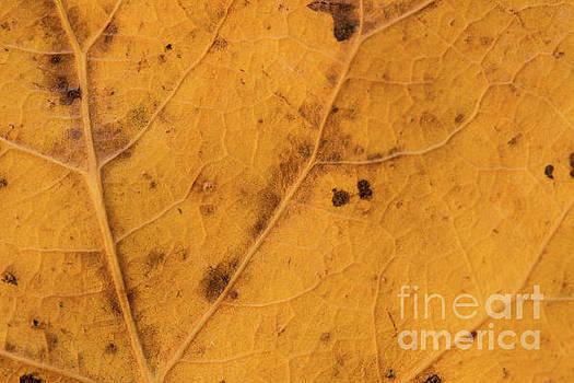 Gold Leaf Detail by Ana V Ramirez