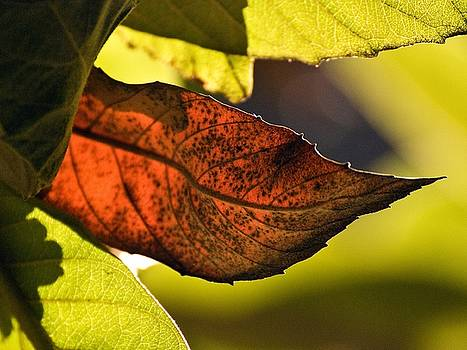 Gold Leaf in Fall by Norman  Andrus