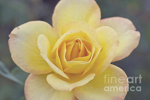 Gold Medal Rose by Cindy Garber Iverson