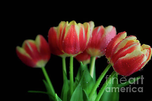 Gold Tip Tulips by Tracy Hall