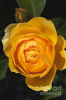 Golden And Rich Beautiful Rose by Joy Watson