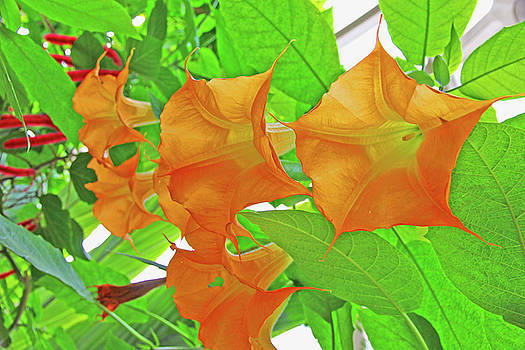 Golden Angel's Trumpet Datura Green Leaf Background Red Flower Accents  2 10232017 Colorado by David Frederick
