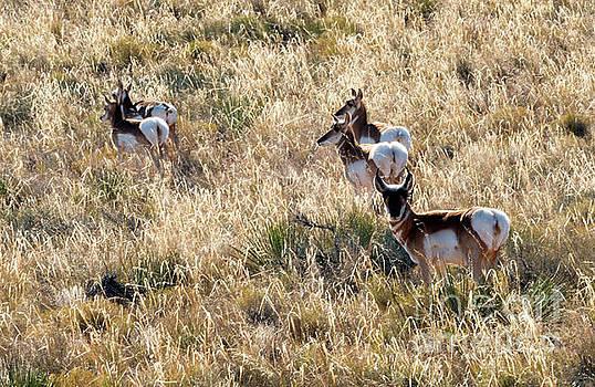 Mike Dawson - Golden Antelope Herd