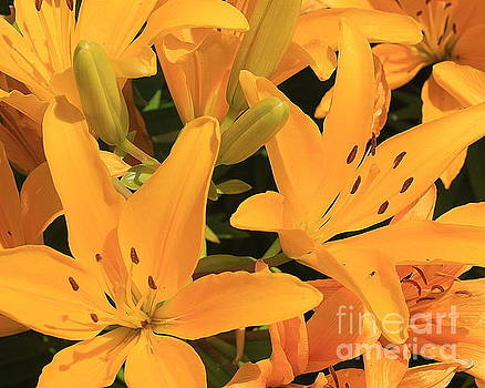 Golden Asiatic Lilies by Dora Sofia Caputo Photographic Art and Design