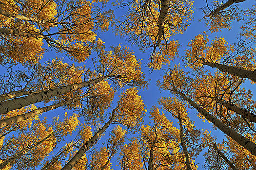 Golden Aspens by Reed Rahn