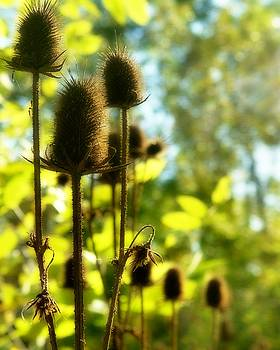 Golden Autumn Teasels by Gothicrow Images