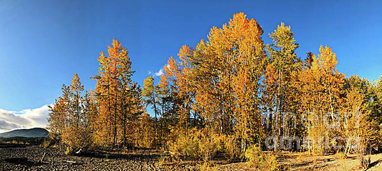 Golden Autumn Trees by Victor K