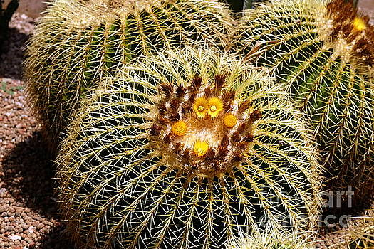 Golden Barrel Cactus by John Chatterley
