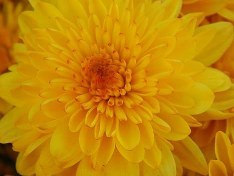 Golden Beauty  by Susan Ince