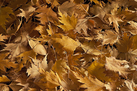 Sandra Foster - Golden Birch Leaves