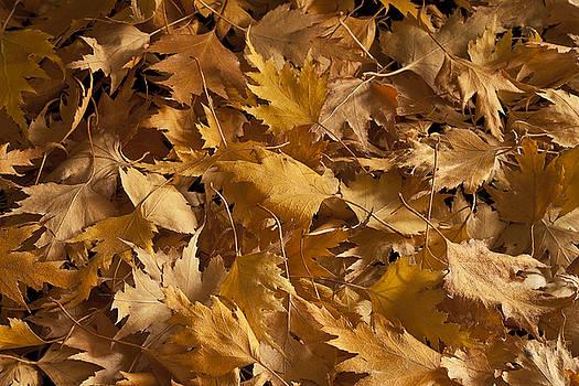 Sandra Foster - Golden Birch Leaves