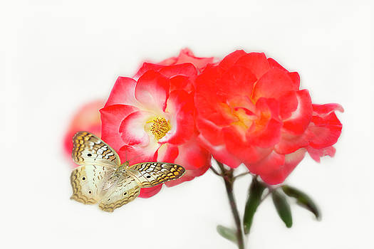 Golden Butterfly on Roses by Susan Gary