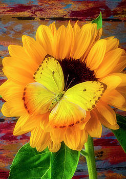 Golden Butterfly On Sunflower by Garry Gay