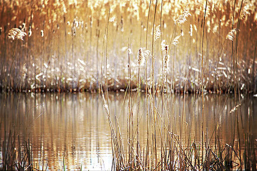 Golden Cattails by Angie Rea