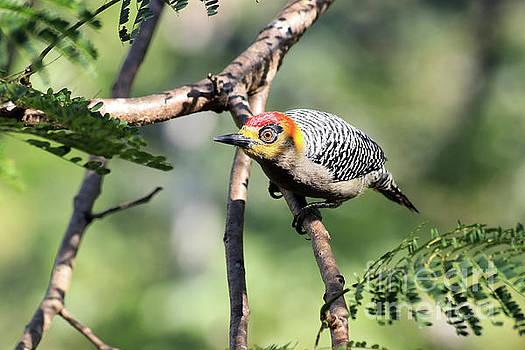 Teresa Zieba - Golden-Cheeked Woodpecker