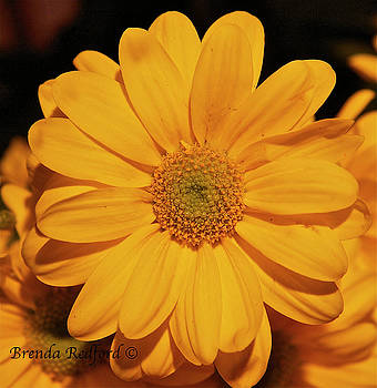 Golden Daisy by Brenda Redford