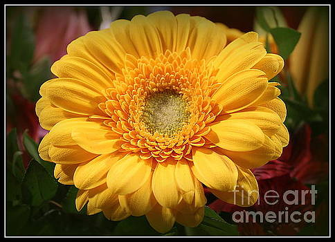 Golden Daisy in Full Bloom by Dora Sofia Caputo Photographic Art and Design