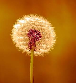Golden Dandelion by Debra Lynch