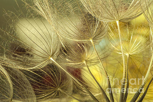 Golden Dandelions  by Iris Greenwell