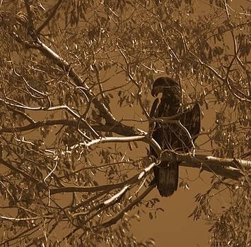 Golden Eagle by Eric Tressler