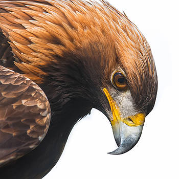 Golden Eagle by Eyeshine Photography