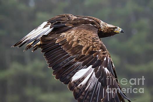 Golden Eagle in Flight by CJ Park