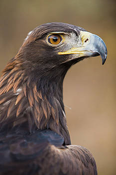 Golden Eagle by Wesley Aston