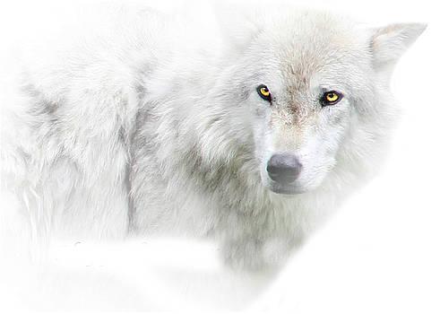 Golden Eye White Wolf by Stephanie Laird