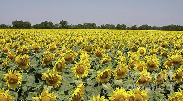 Golden Field by Jerry Bunger