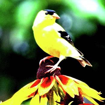 American Goldfinch by Art By ONYX