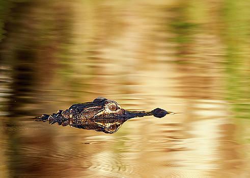Golden Gator by Thomas DiVittis