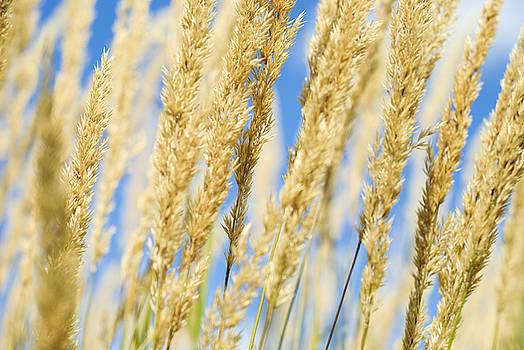 Golden Grains by Christi Kraft