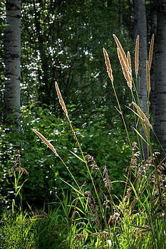 Golden Grass at the Forest Edge by Mary Lee Dereske