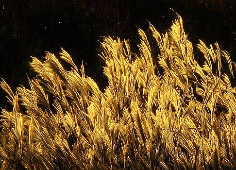 Golden Grasses at Sunset by Lori Frisch