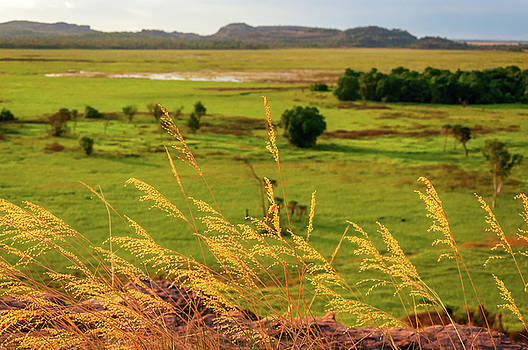 Golden Grasses in wetlands in Australias Top End by Daniela Constantinescu