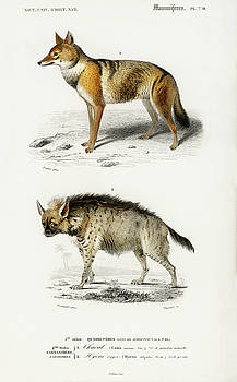 Golden Jackal and Striped hyena by Charles Dessalines D' Orbigny