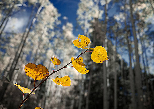 Mary Lee Dereske - Golden Leaves Against a Muted Forest