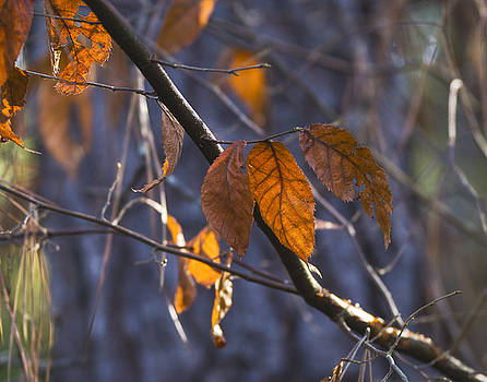 Golden leaves by Billy Stovall