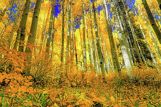 Golden Light of the Aspens - Colorful Colorado - Aspen Trees by Jason Politte