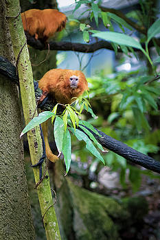Golden Lion Tamarin by Darcy Michaelchuk