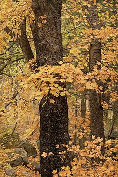Saija Lehtonen - Golden Maple Forest