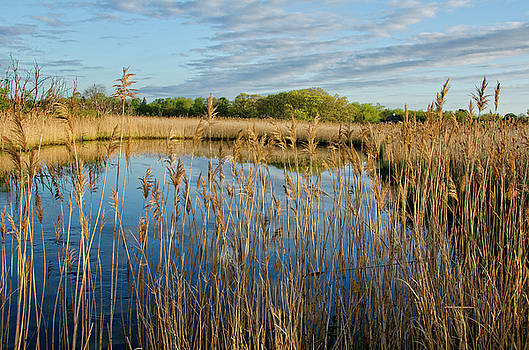 Golden Marsh by Donna Doherty