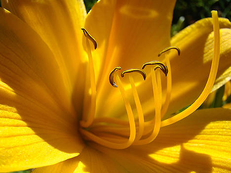 Baslee Troutman - GOLDEN ORANGE LILY Art Print LILIES Flowers Baslee Troutman