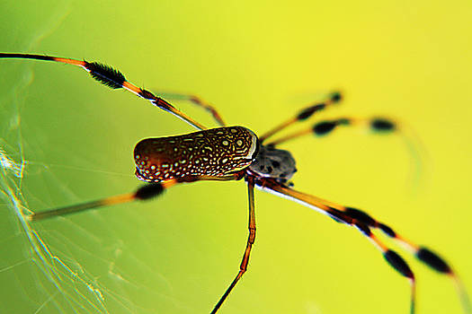 Golden Orb by Marcus Adkins