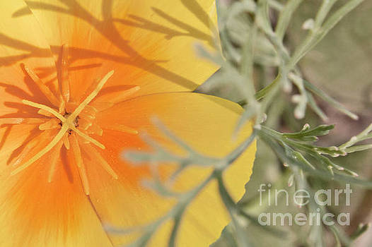 Golden Poppy In The Evening by Janie Johnson